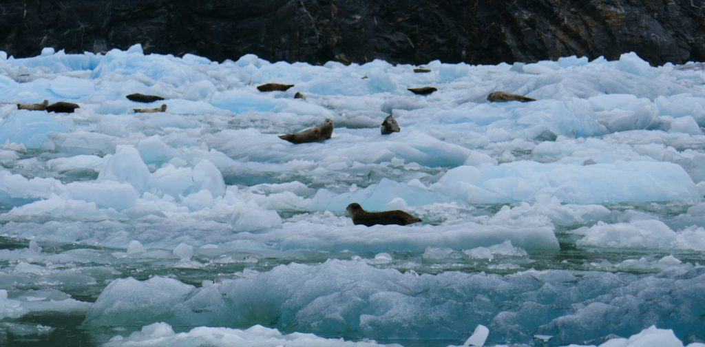 Harbor seals relaxing on the ice at the foot of the glacier