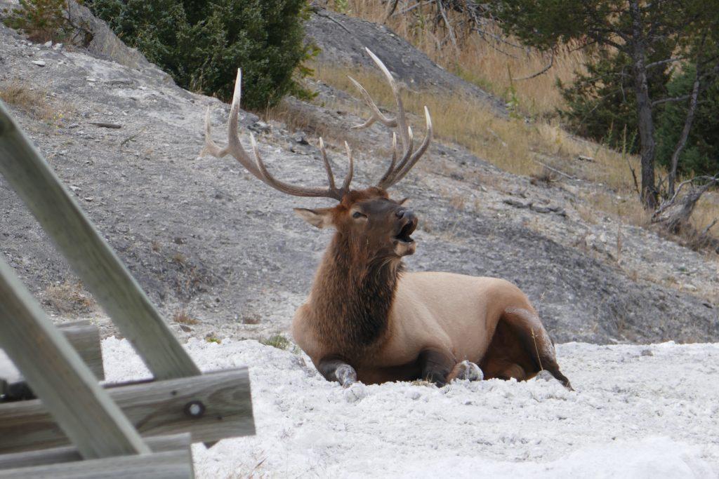 Bull elk sitting near the hot springs